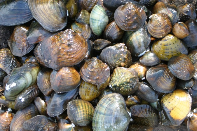 Mussel_Collage_St.CroixRiver_Interstate_Park_1-Aug-2003_MikeDavis
