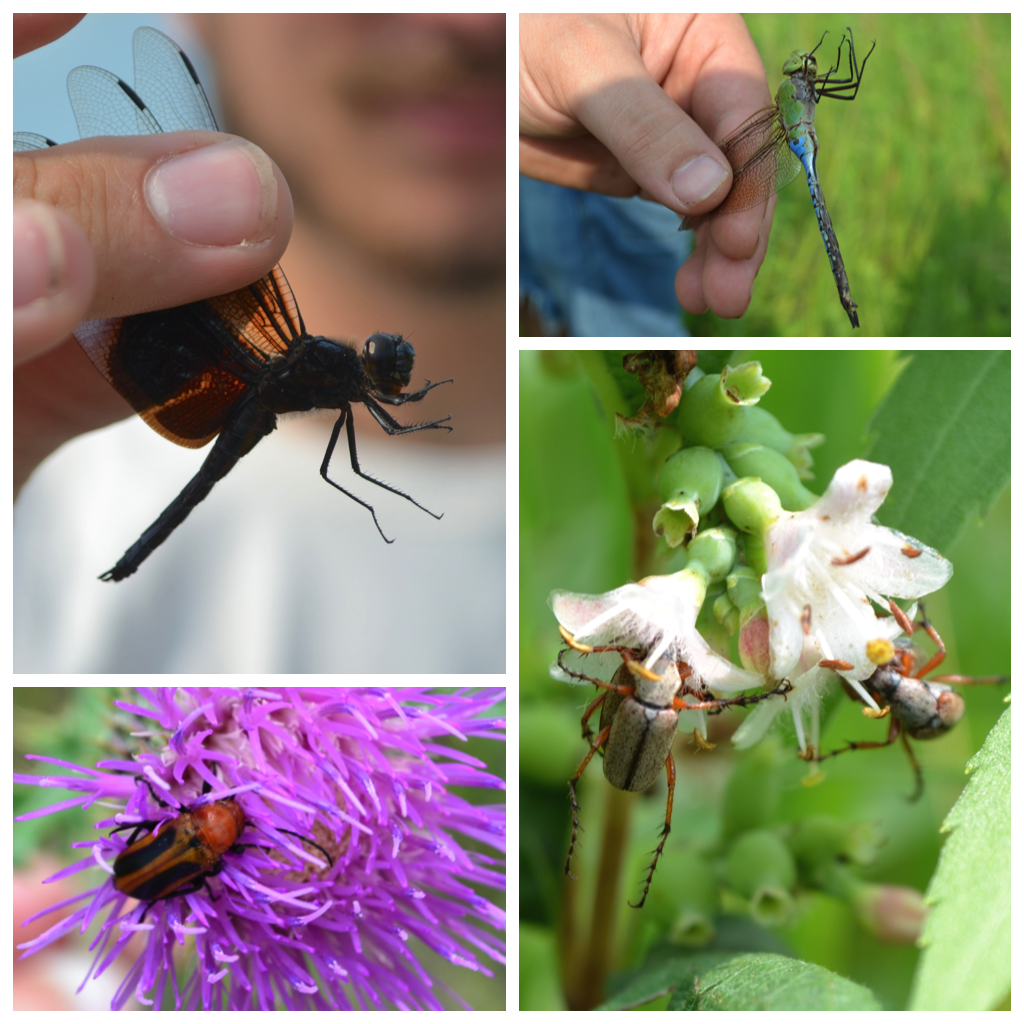 Insect Collage_BioBlitz 2015