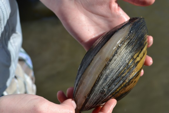 A rare opportunity to see the mantel of the live mussel still visible before the mussel closes its shell for protection.