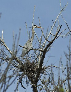 "Photographer Jim Robins captured this image of a wary Great Blue Heron standing guard on its nest in the new rookery in the ""Strata Zone."""