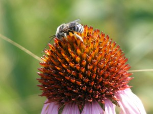 Bee on coneflower_prairie insect