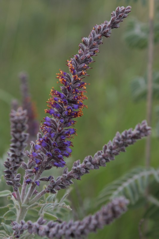Amorpha canescens Pursh (leadplant)