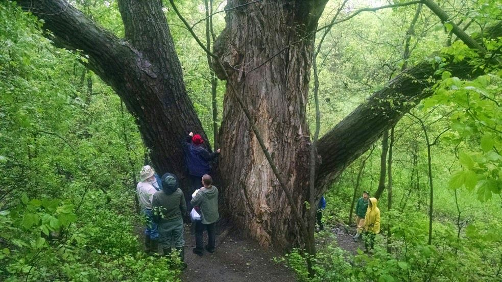 Discovering the wonders of Minnesota's oldest cottonwood tree located near Lac qui Parle State Park.