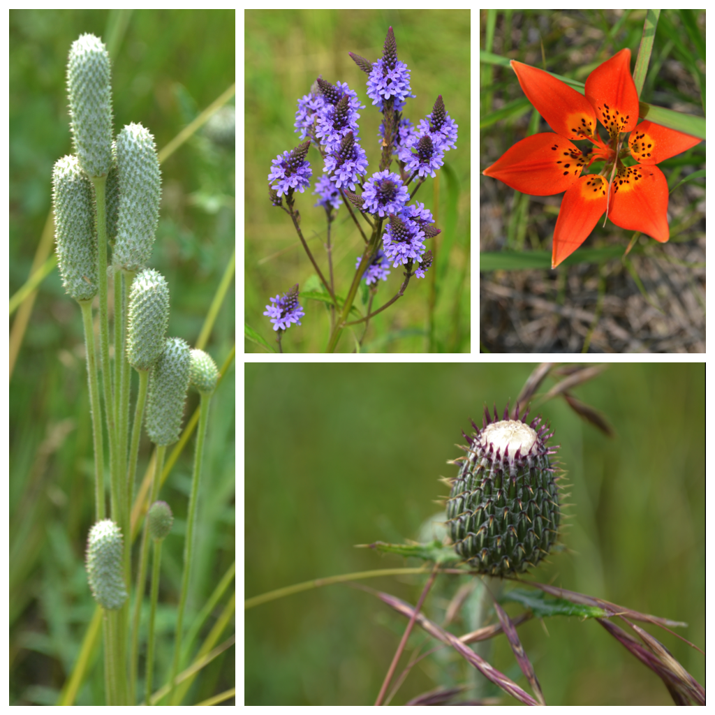 Thimbleweed after blooming (far left), Blue Vervain (top middle), Prairie Lily also called a Wood Lily (top right corner), and Swamp Thistle (bottom right).